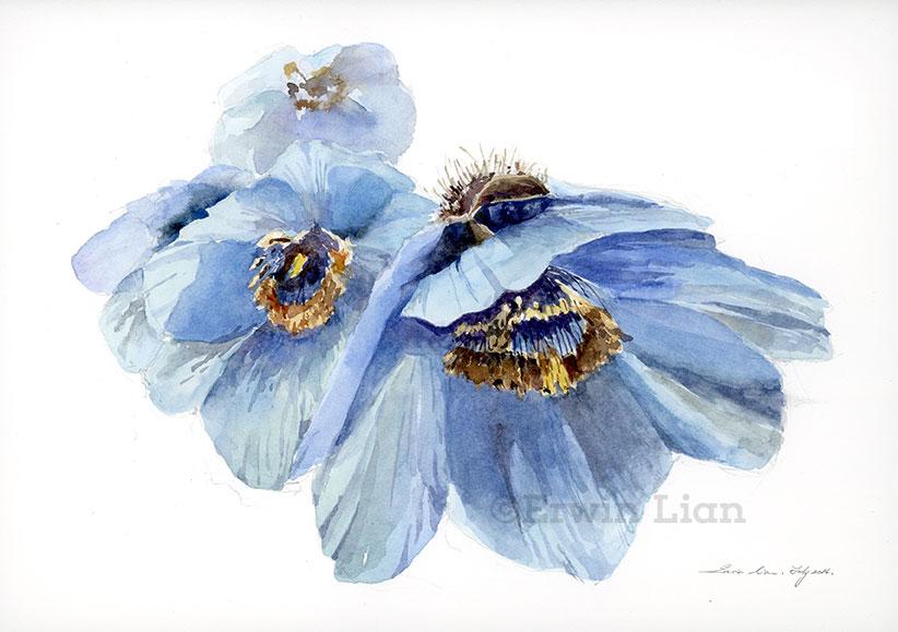 Bhutan Blue Poppy , Transparent Watercolor