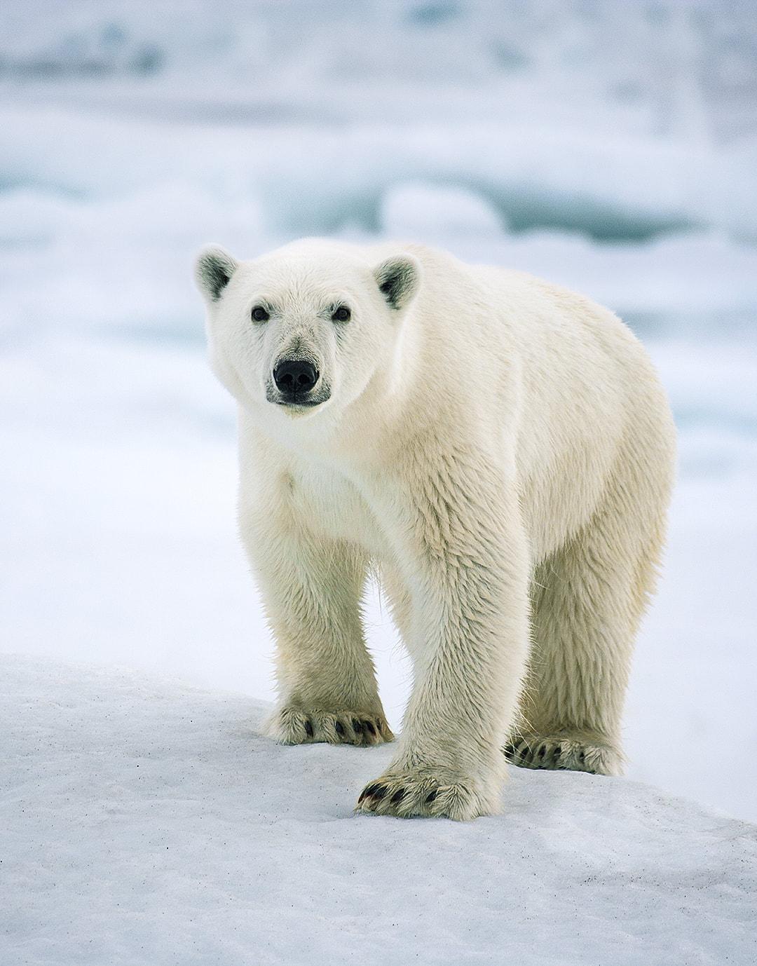 BEAR ONE – Arctic 2008.jpg