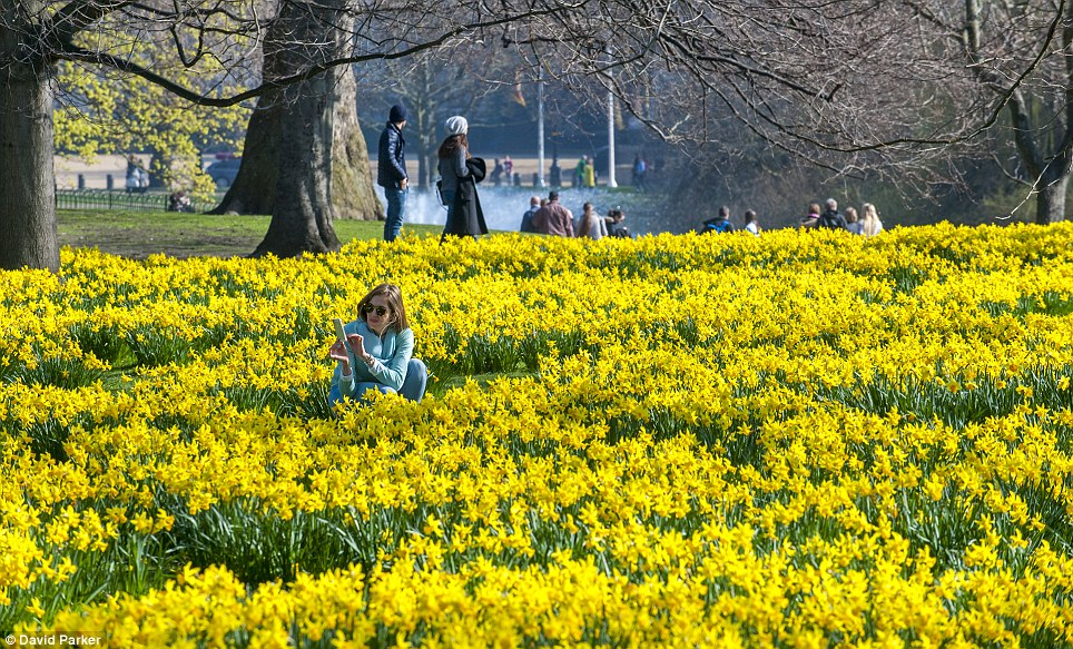 Daffodils at Easter time in St. James Park, direct by Piccadilly Line from Green Rooms