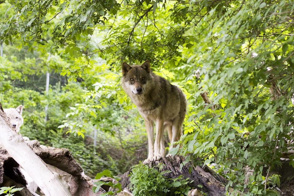 wolf-1383977_960_720.jpg