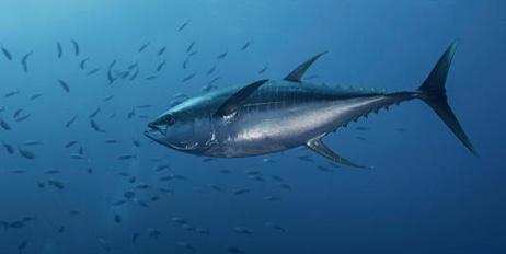Tuna : Avoid large predatory fish with dense flesh