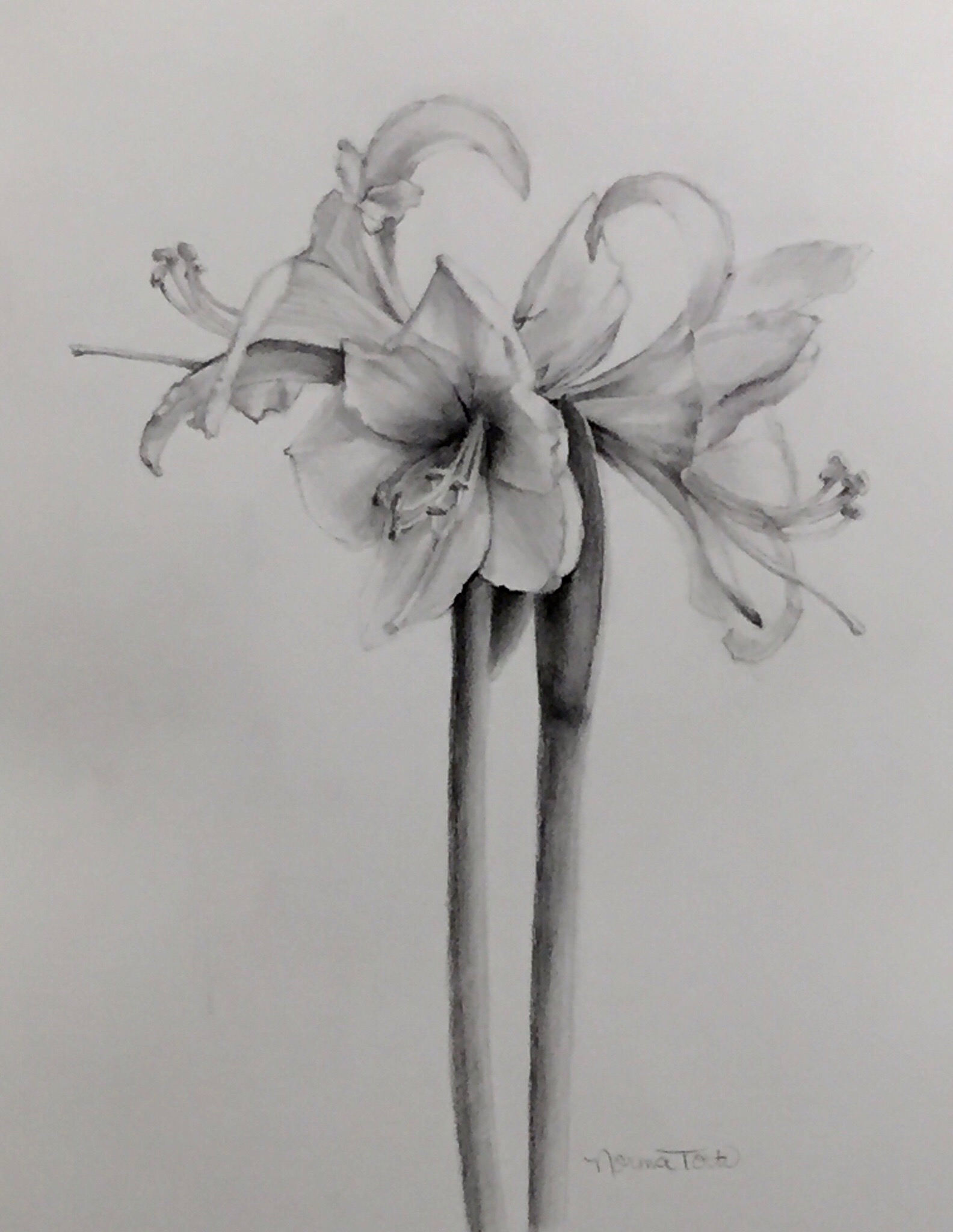 White Amaryllis Drawing, 11 1/2 x 15, graphite & charcoal on paper