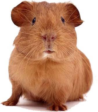 guinea-pig.jpg