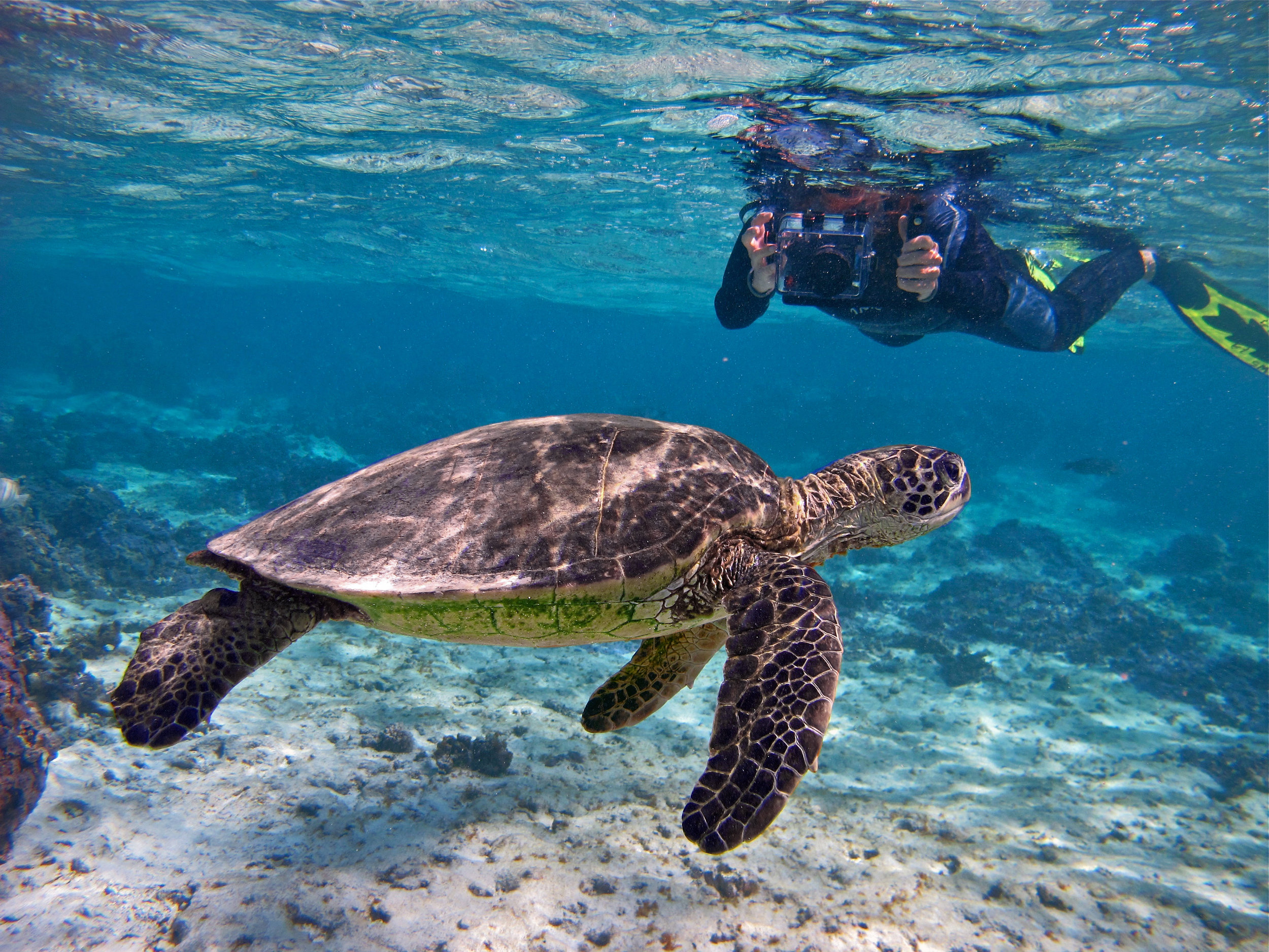 green-turtle-snorkeler-©Wayne-Sentman.jpg