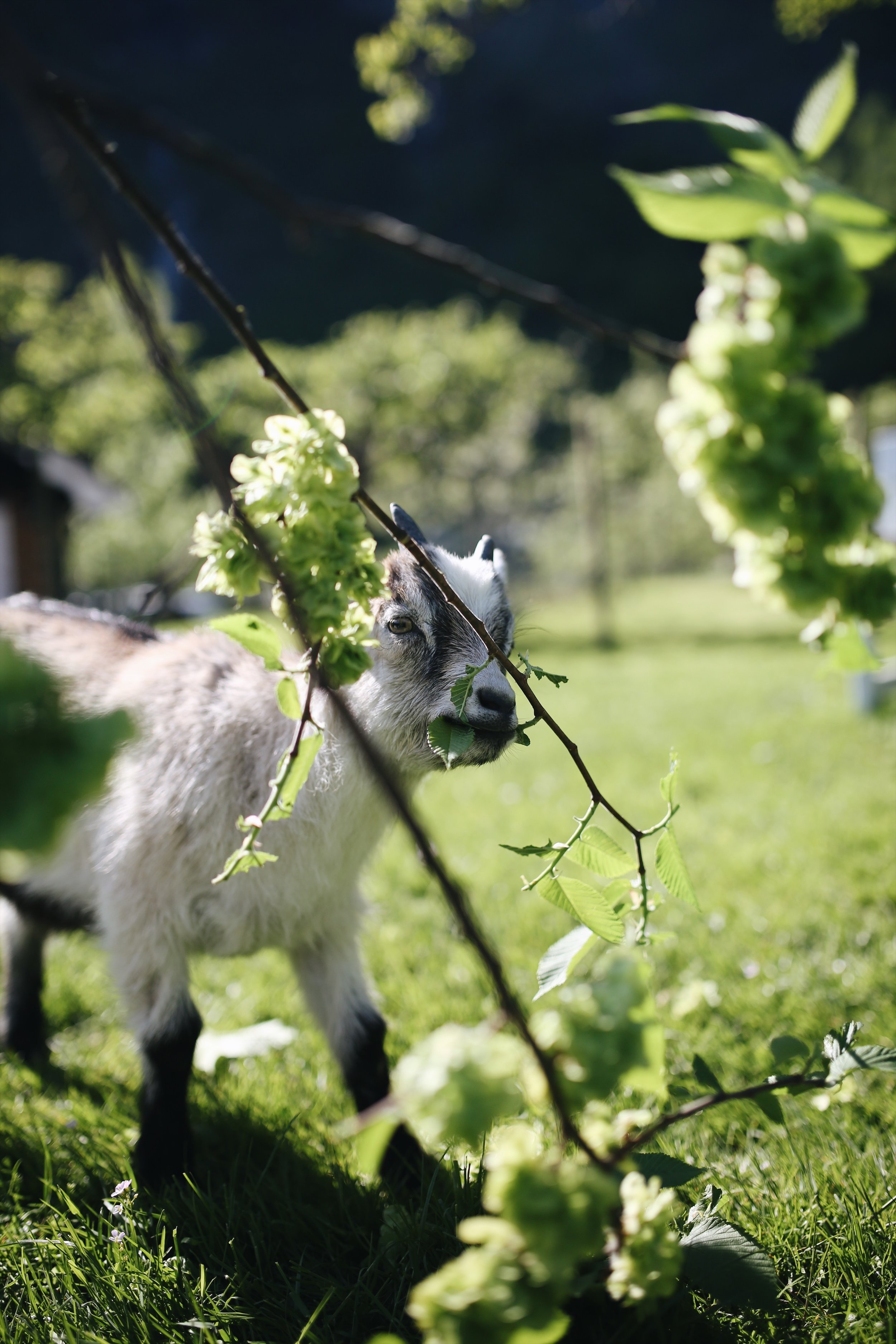 hungry baby goat