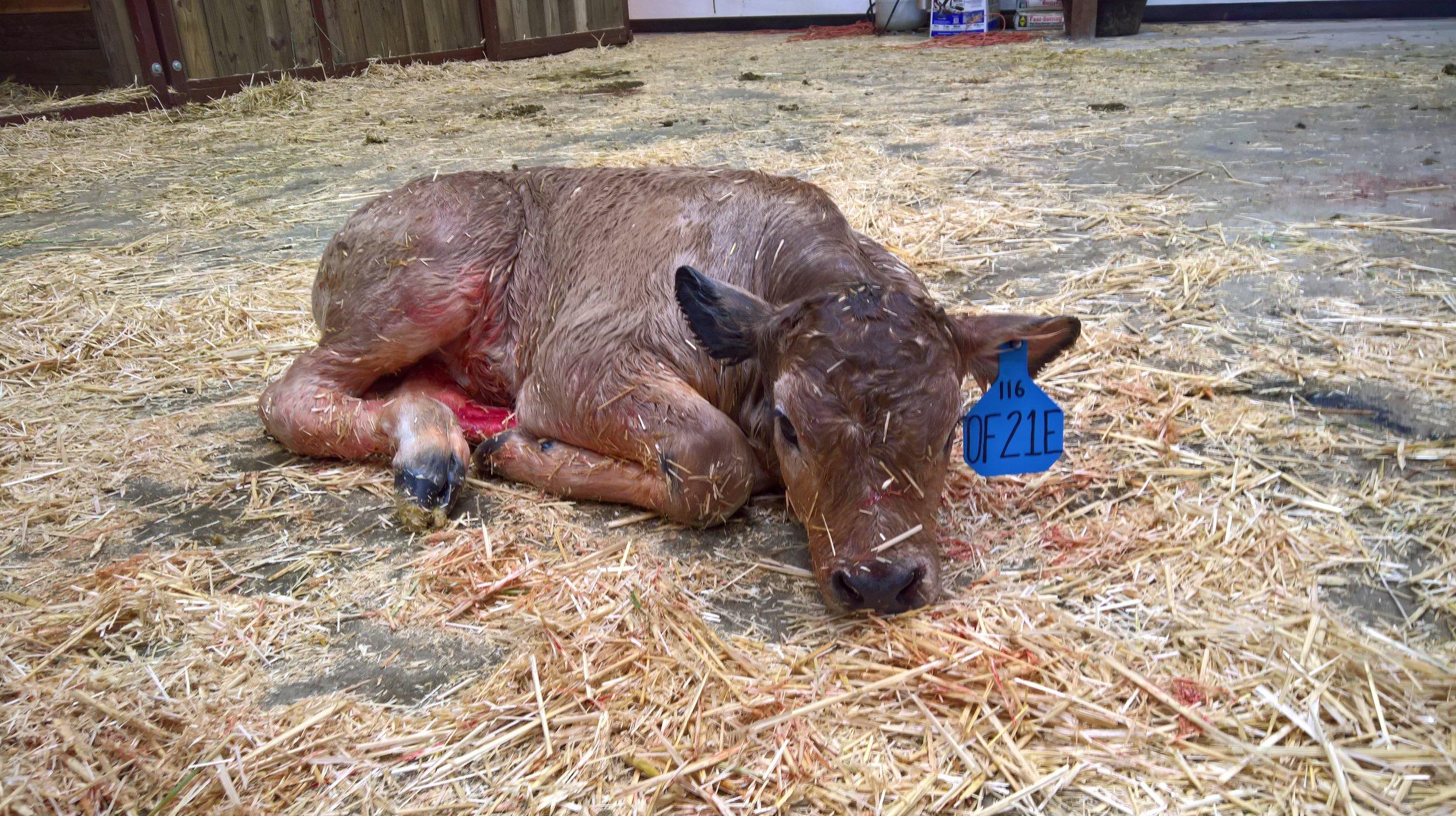 OF Endurance 21E - Olmo x Little Sheba (Bull)