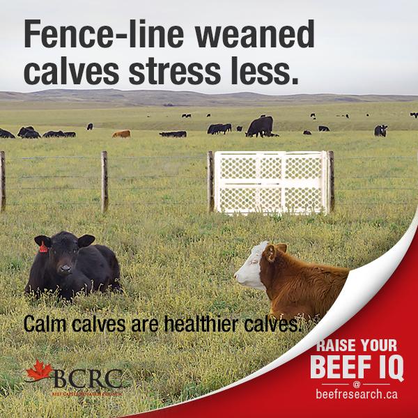 beef_cattle_fact7_fenceline_weaning_2017-600x600-web.jpg