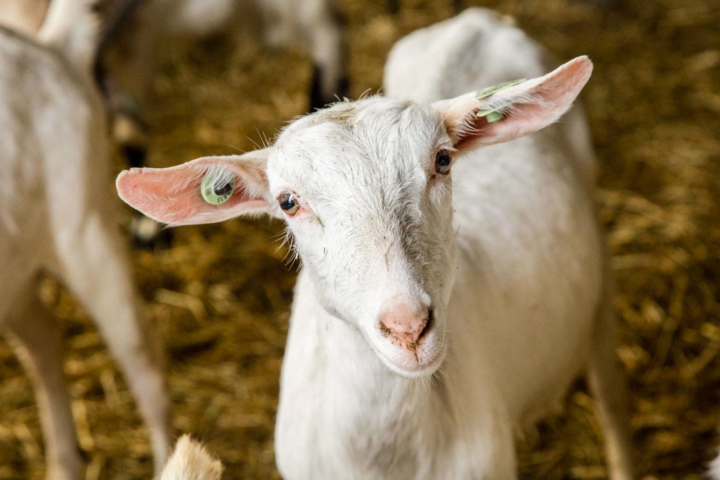 De geiten van boerderij Goerenhof