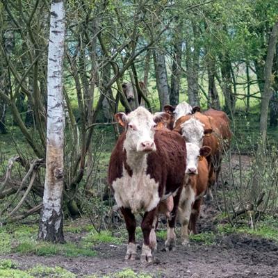 Koeien-herkenrodeboer-pieter.jpg