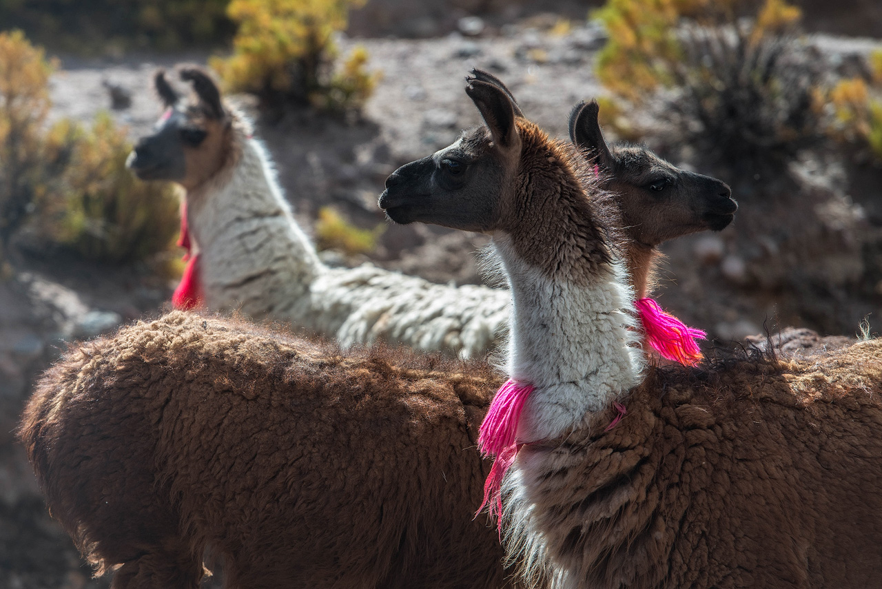 11d-Llamas-in-the-Altiplano.jpg