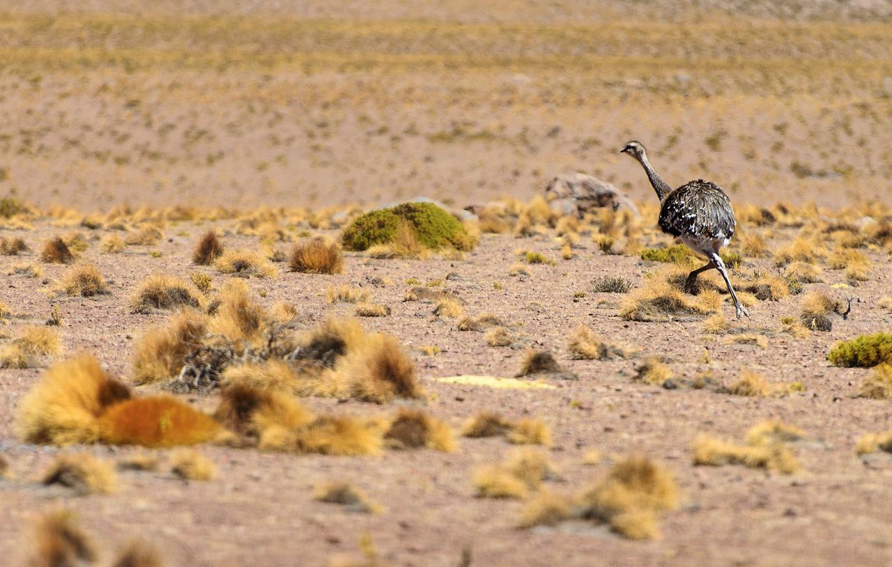 11a-Ostrich-in-the-Altiplano.jpg