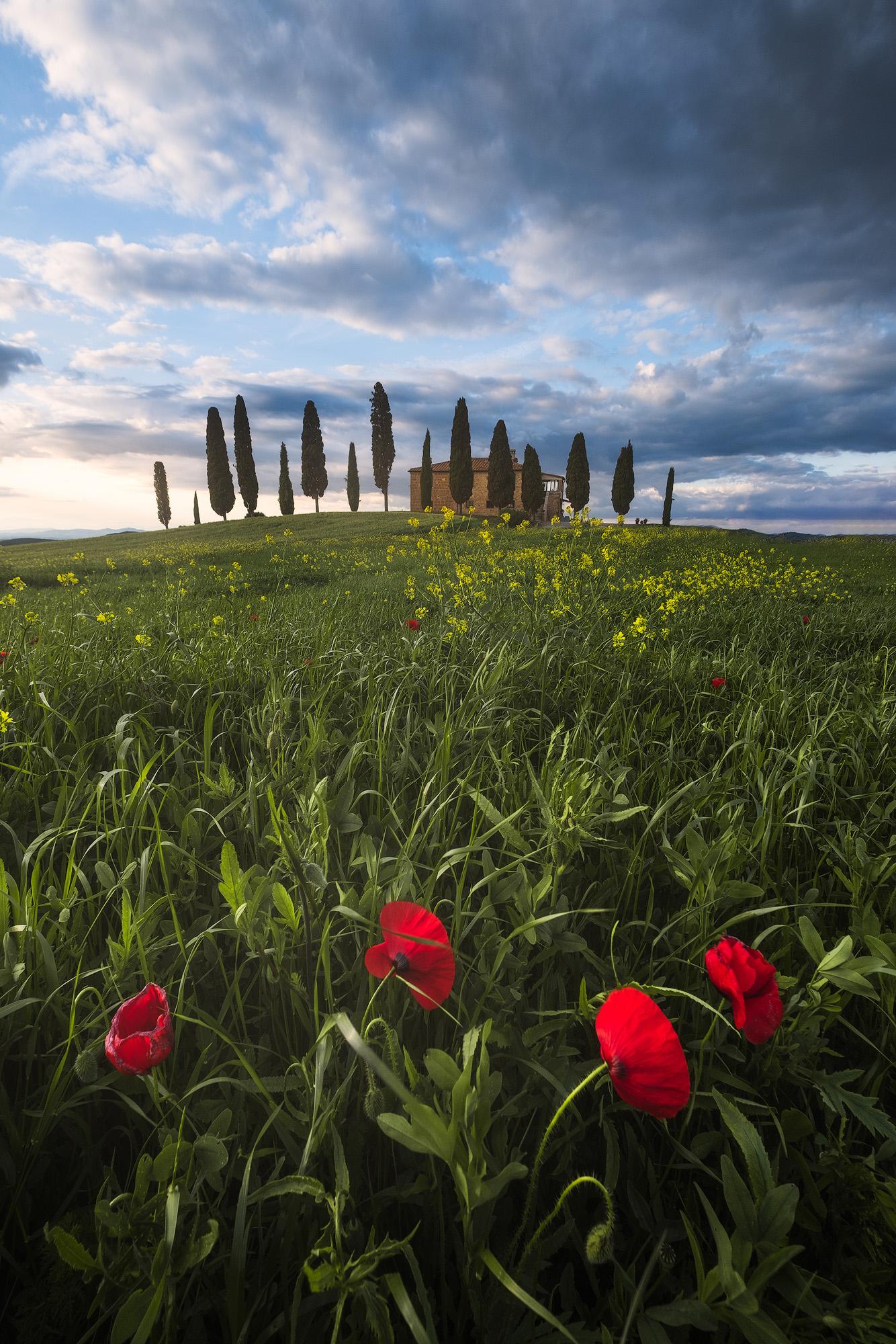 Pienza Poppies   Poppies in a field near Pienza, in San Quirico d'Orcia