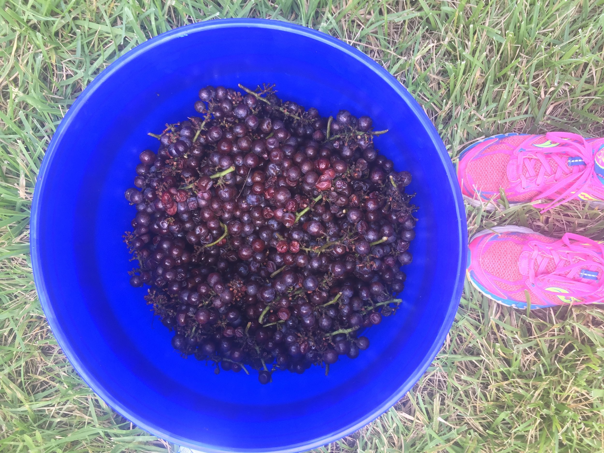 A bucket full of Pinot Gris