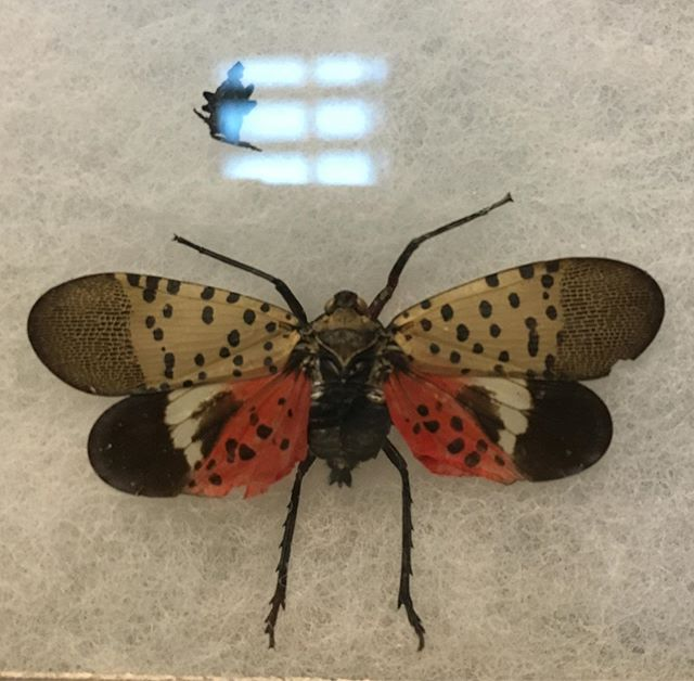 I'm kind of a big deal. 💁‍♀️ Learning about the spotted lantern fly this morning at the NC Wine and Grape Summit. This bug may look pretty, but it's a big pest to be on the lookout for. 👀 #ncwine #winemouths #abugslife