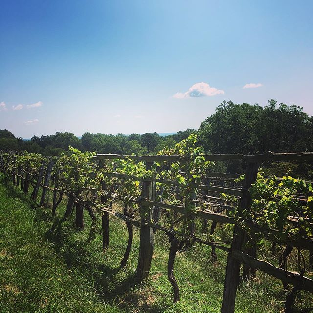 Toured Monticello today and was particularly interested in the vineyard there. Thomas Jefferson desperately wanted to make wine from grapes grown at Monticello and planted (and replanted!) two vineyards, but it never took off. @tjmonticello #vawine #winemouths #embraceyourwinemouth #thomasjefferson