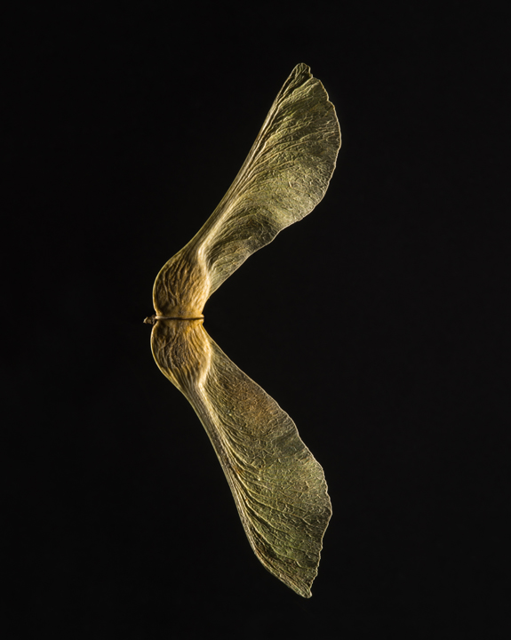 Norway Maple Seed