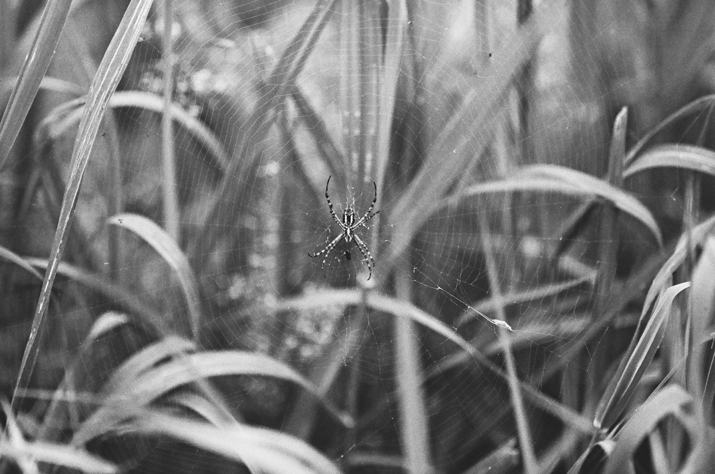 spider (1 of 1).jpg