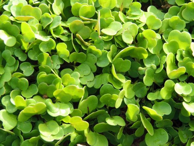 Microgreen-Arugula-2.jpg