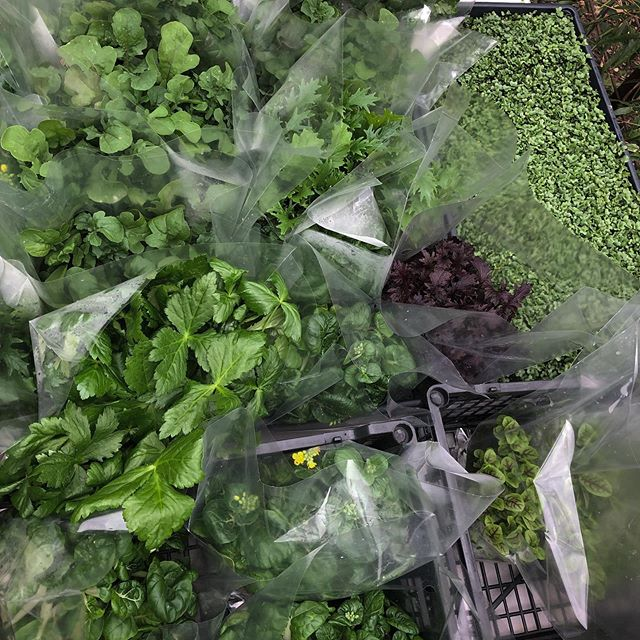 Delivering that fresh fresh daily. Living greens, living microgreens, living herbs, clamshells and edible flowers. Do that thang 👏 - - - - -  #urbanartfarm #fairoaks #local #fresh #nopesticides #noherbacides  #artisanlettuce #microgreens #the herbs #sacramento #roseville #folsom  #eastsacramento #midtown #eldoradohills #landpark #downtown #carmichael