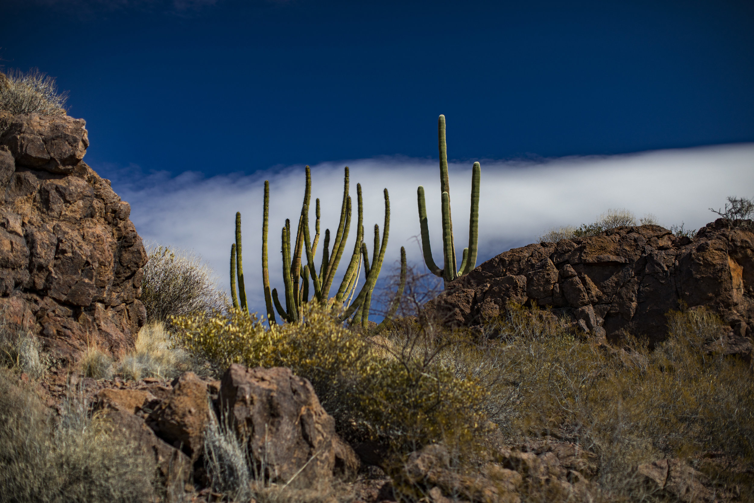 A Saguaro and Organ Pipe side by side