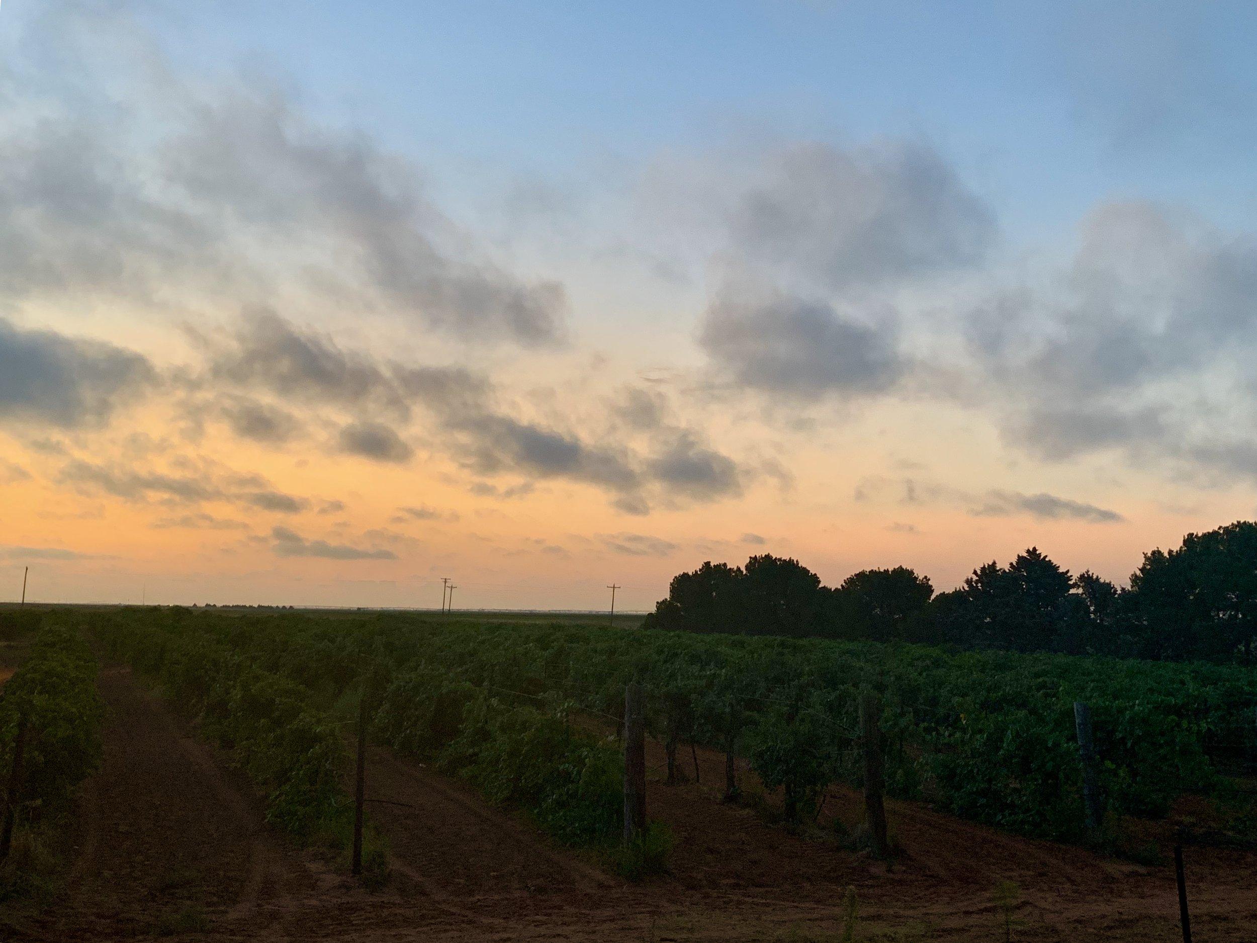 Sunrise picking at Martin's Vineyard