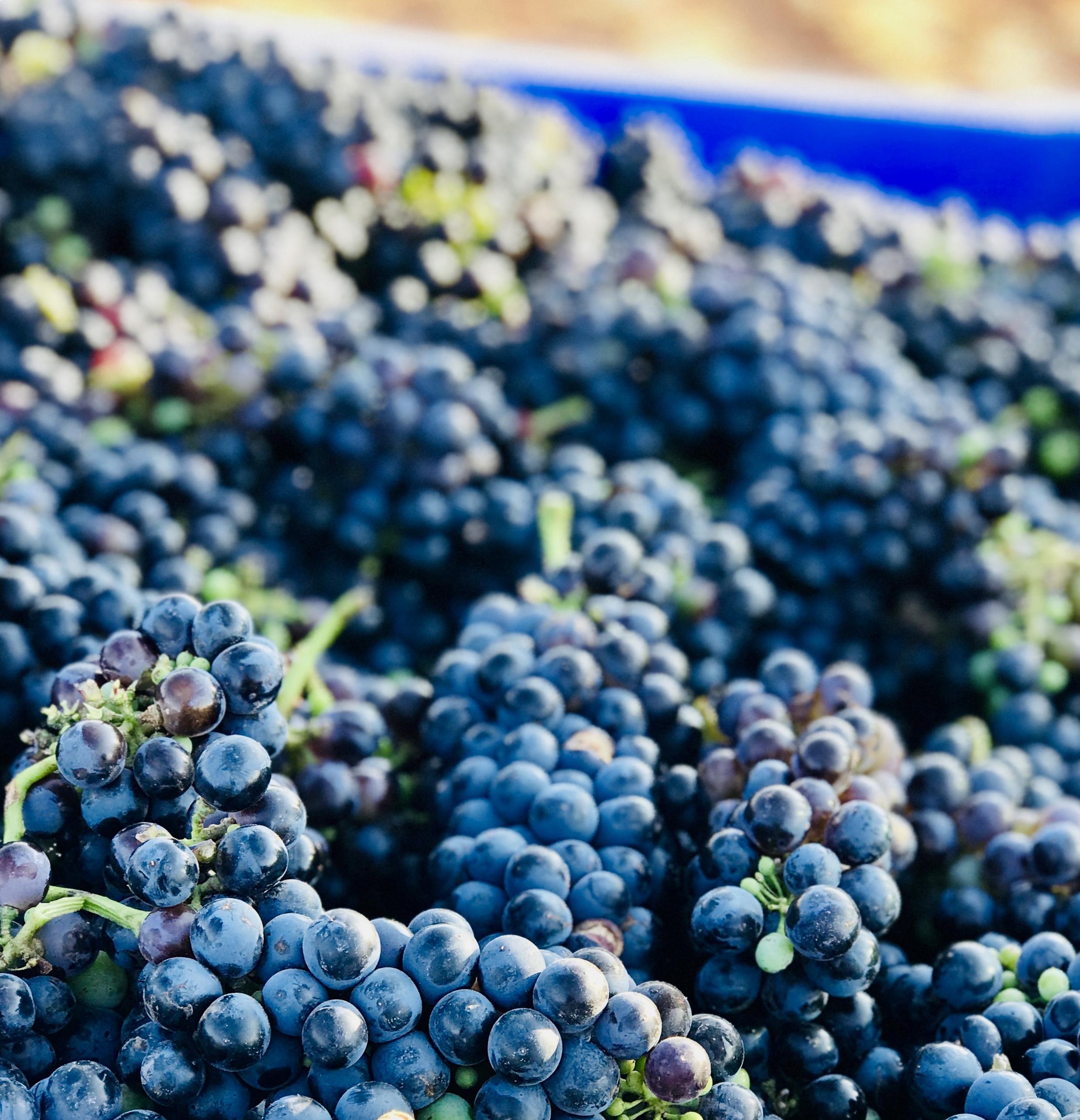 syrah vineyard texas wine for the people rae wilson.jpg