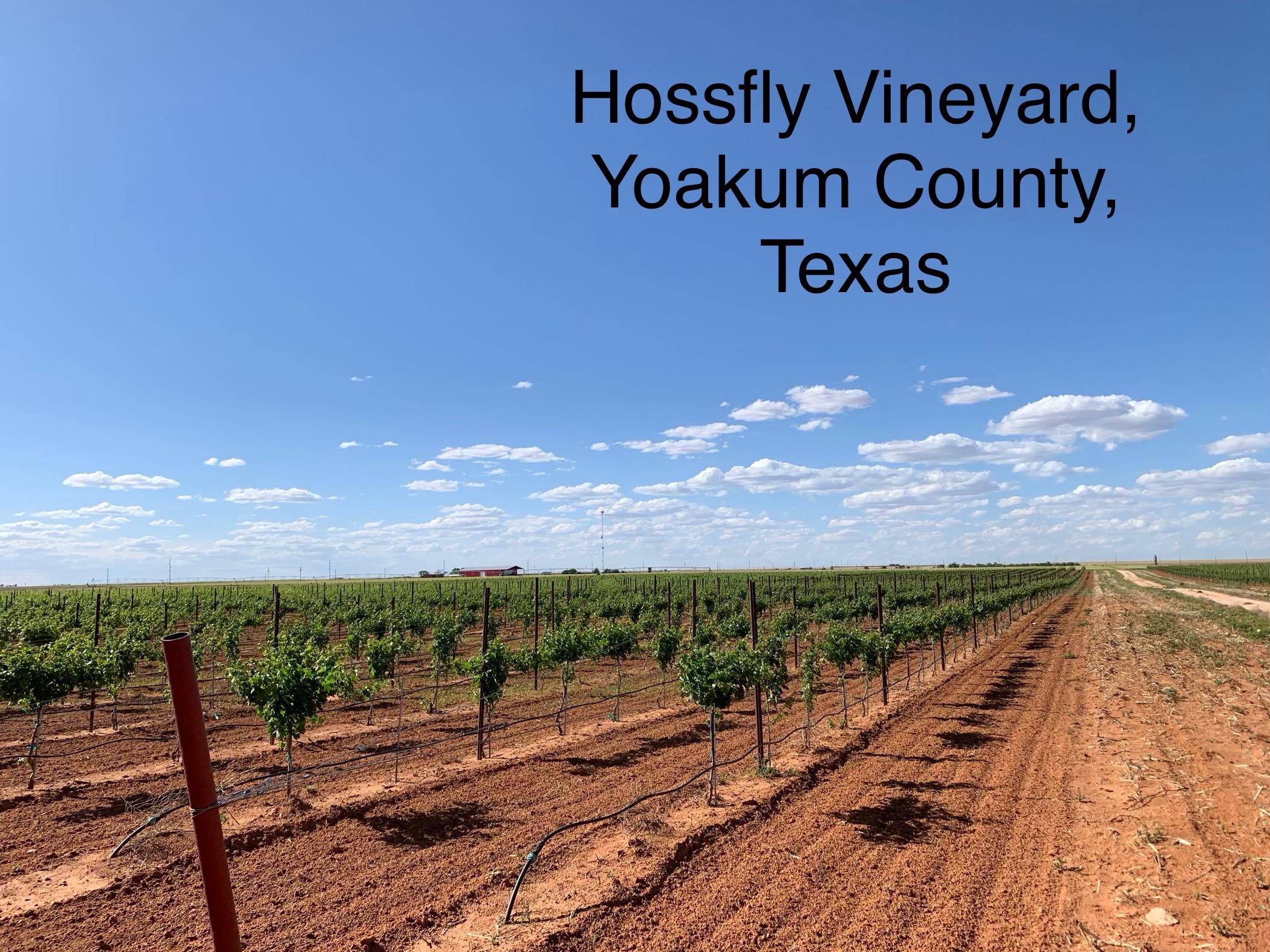 texas wine for the people rae wilson vineyard.JPG