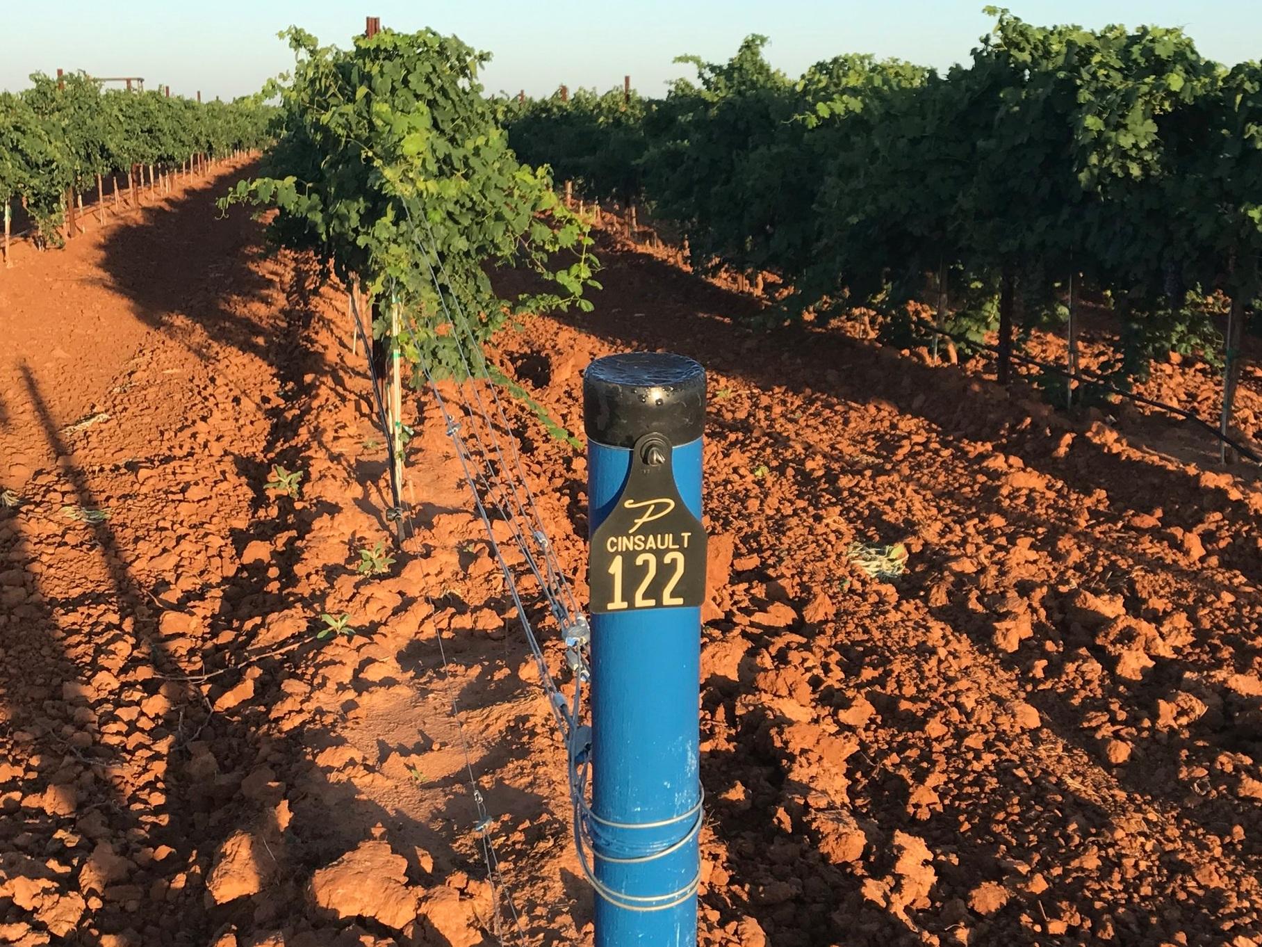 cinsault dandy rosé wine for the people austin texas rae Wilson