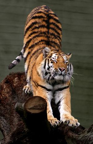 tiger in ranthambore.jpg