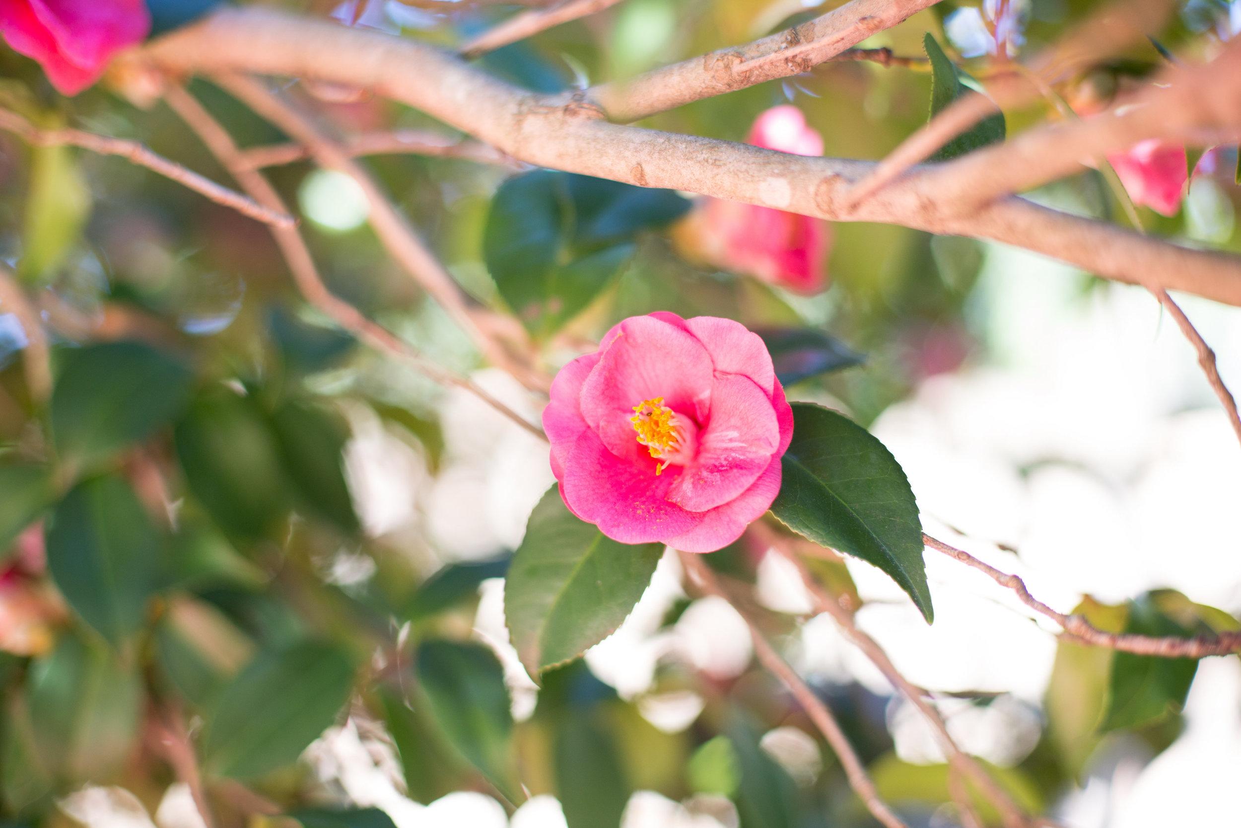 Camellia Photos-Camellia Photos-0012.jpg