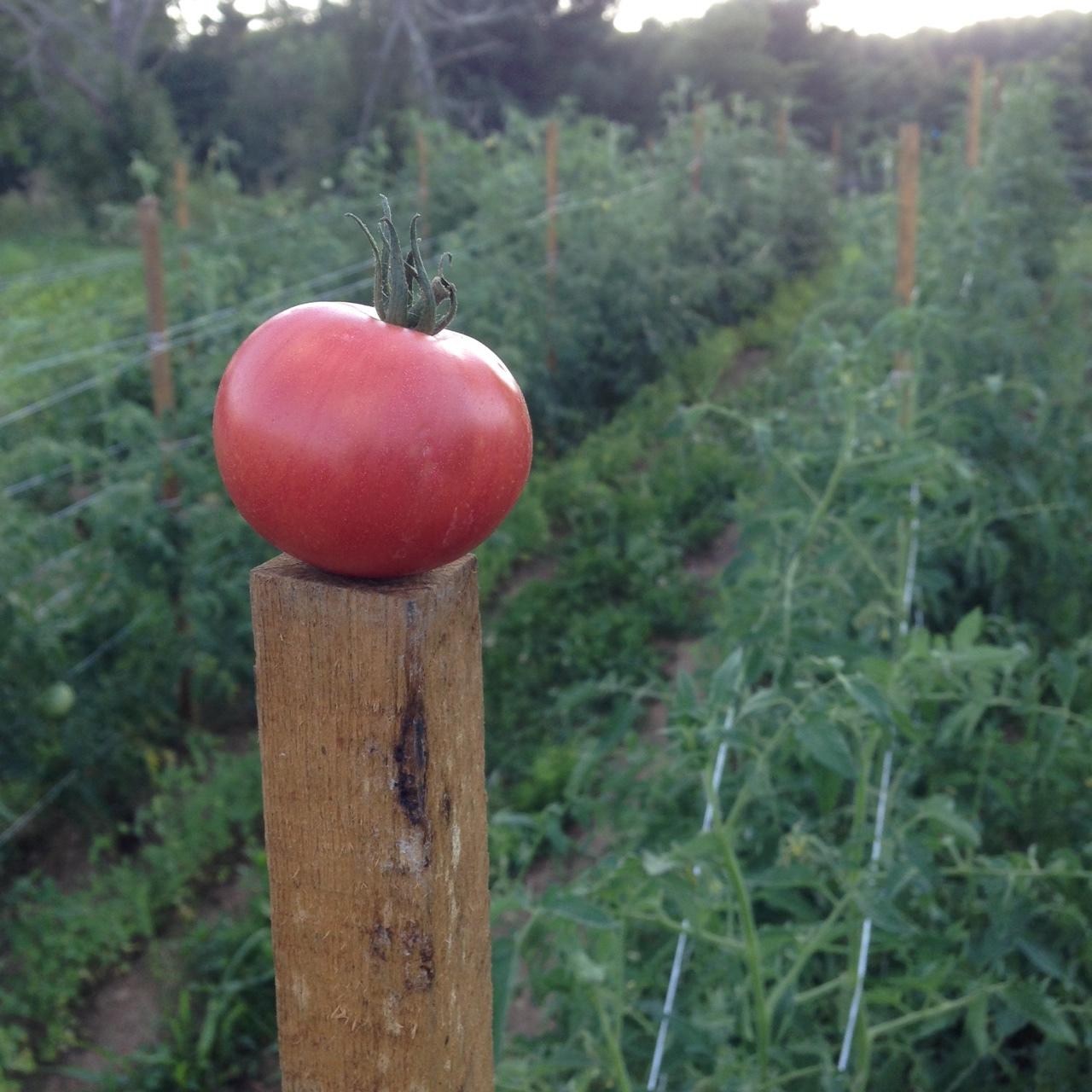tomato on post.JPG