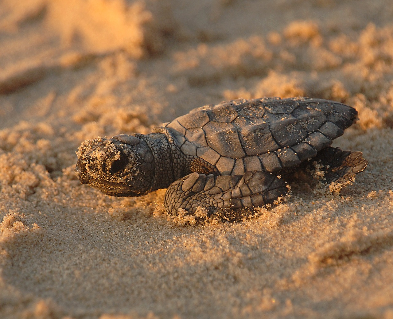 Newly-hatched ridley sea turtle: just 2-1/2 inches long.