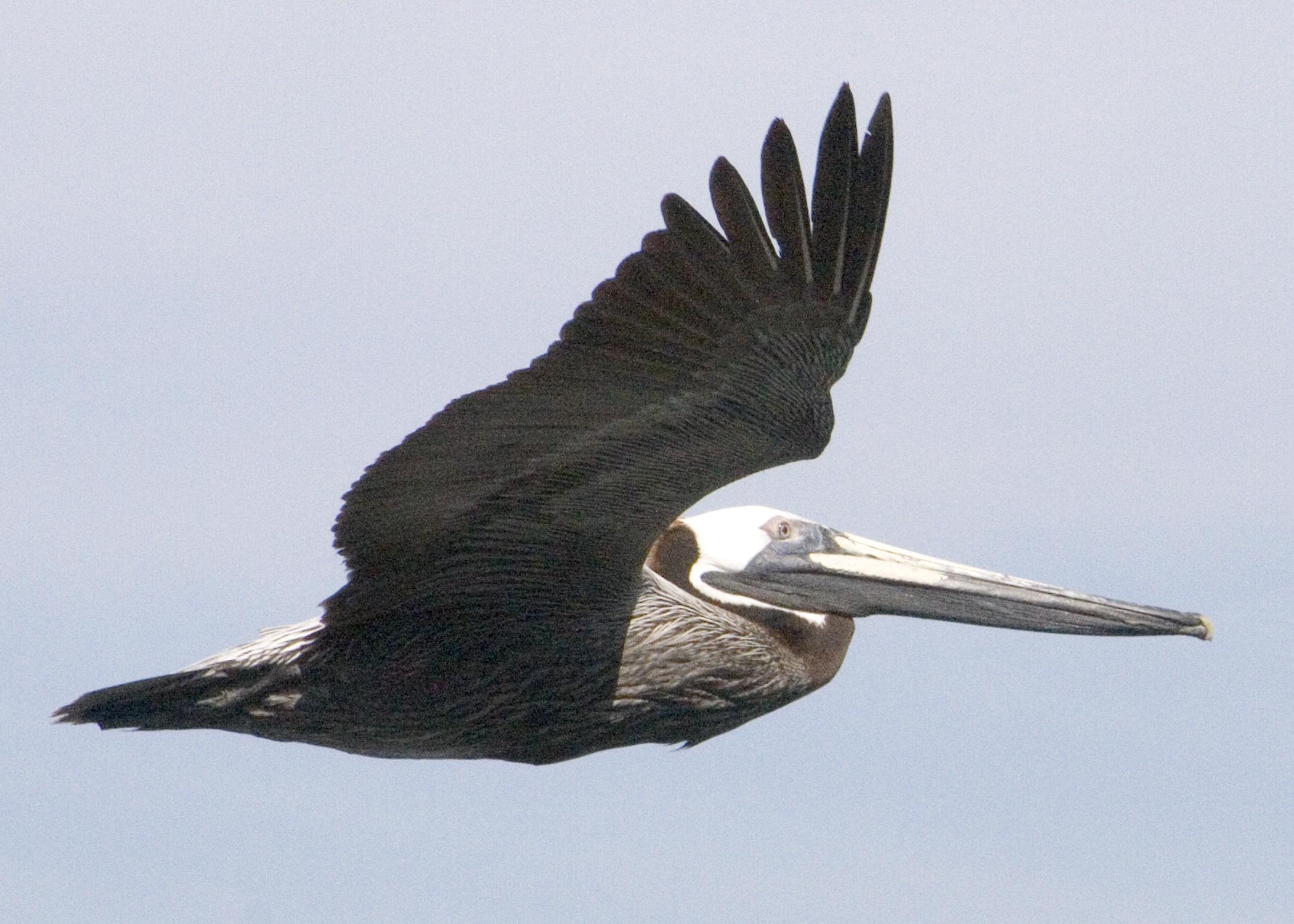 IMG_1321-Pelican close up.jpg