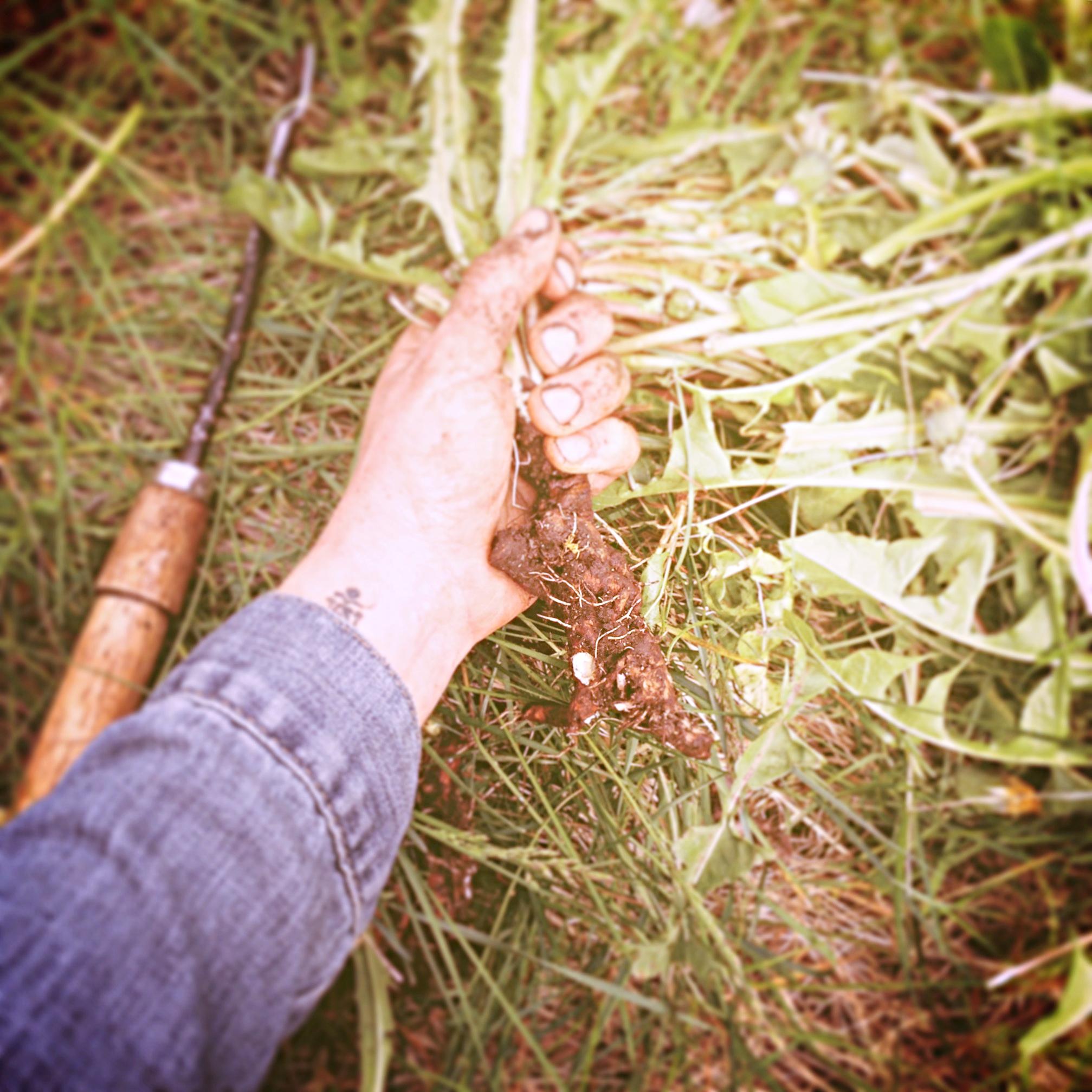 Wild dandelion root.