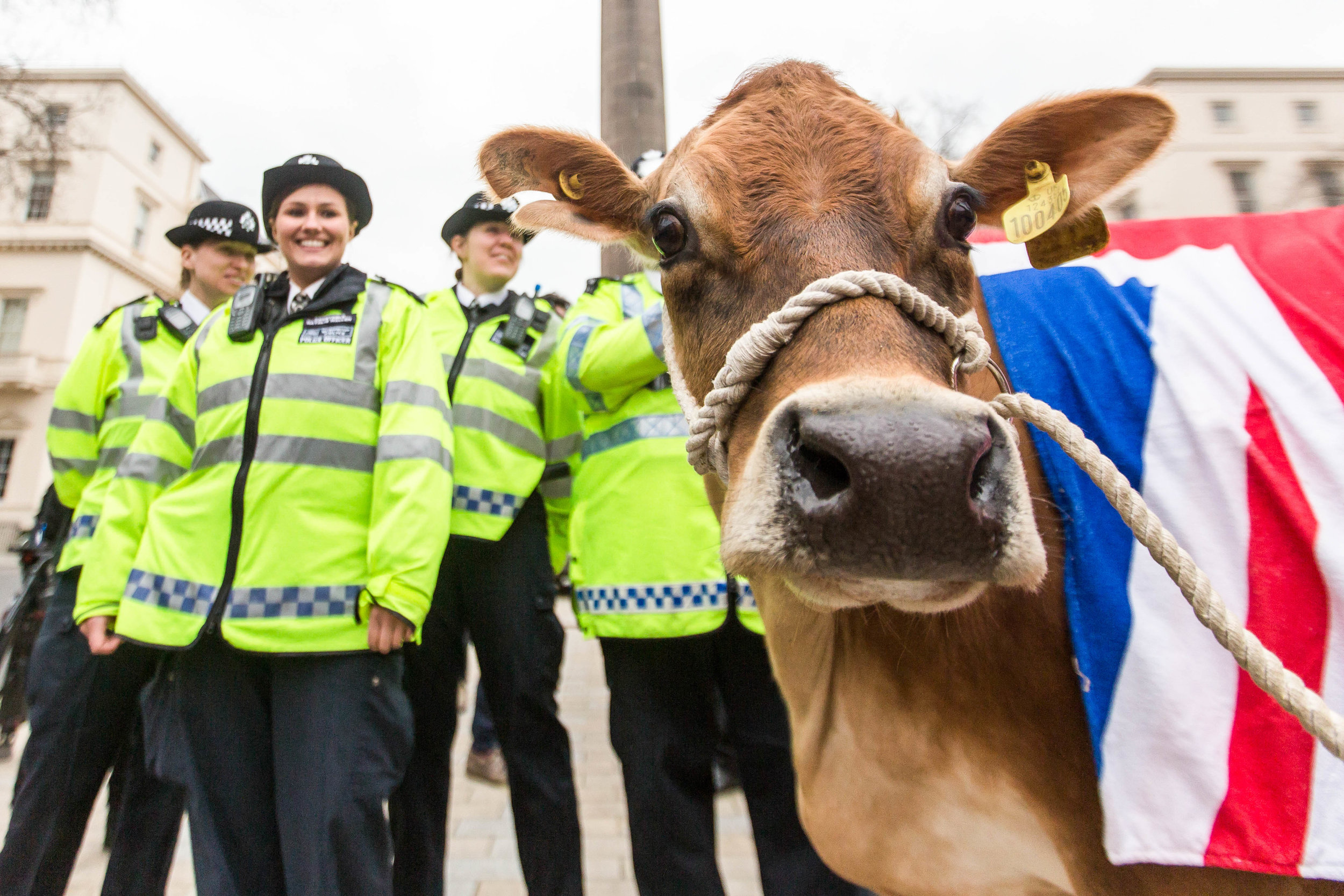 Farmers parade livestock through central London in a bid to increase milk prices. London, England - March 23 2016.