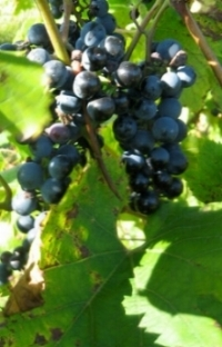 grapes_sm.jpg