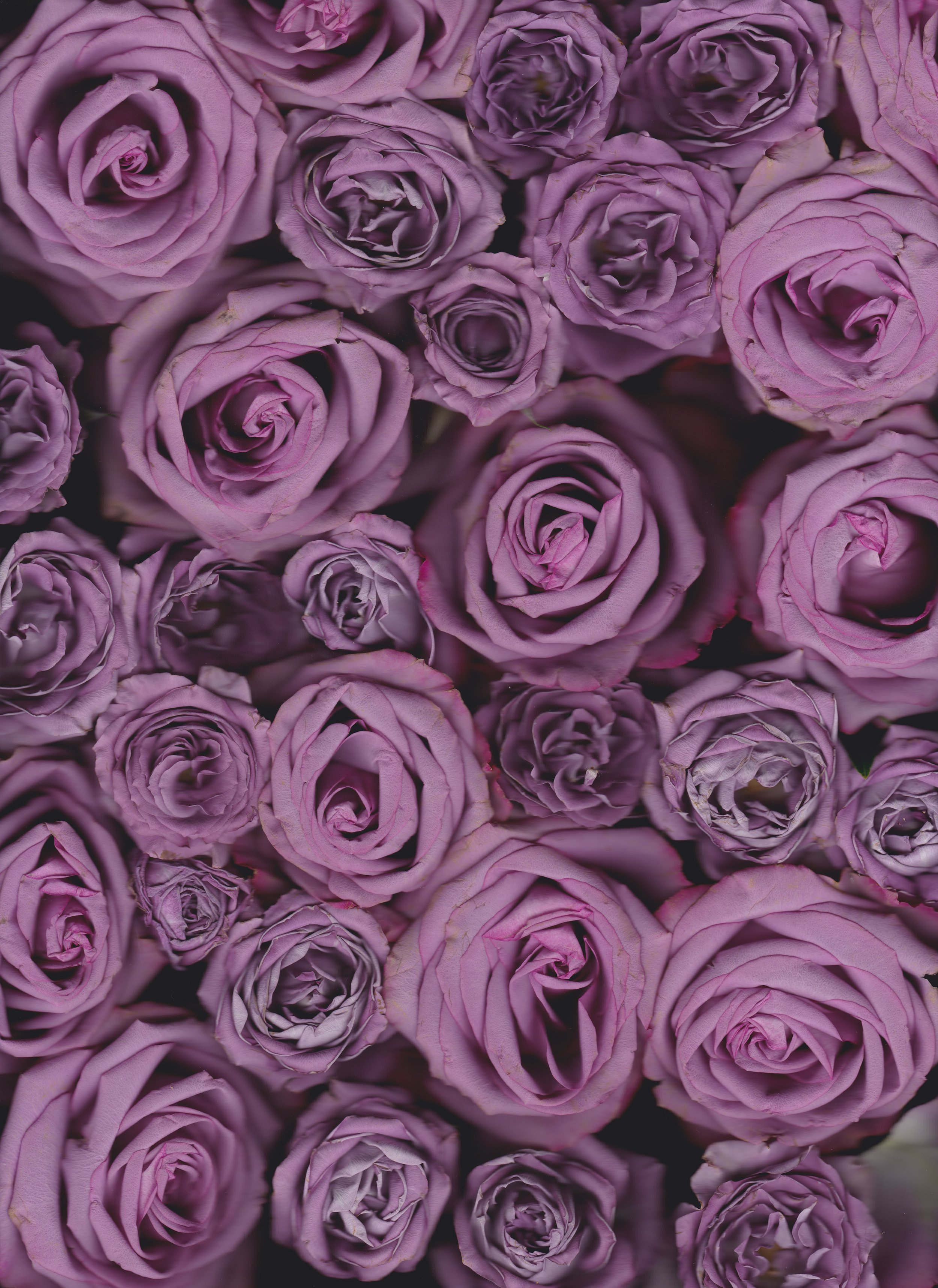 lavenderrosescan11_21_18 2.jpeg