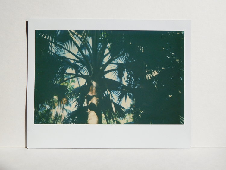 Pritchardia hillebrandii, a palm endemic to Moloka'i, Hawai'i  - photograph taken at the Merwin Conservancy in Maui.