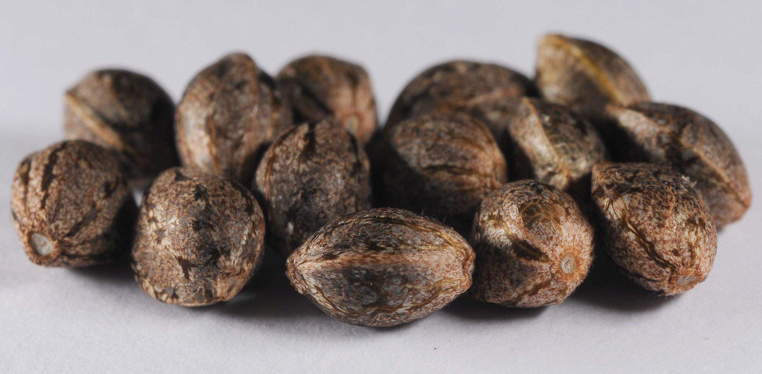 ElMonstre seeds.jpg