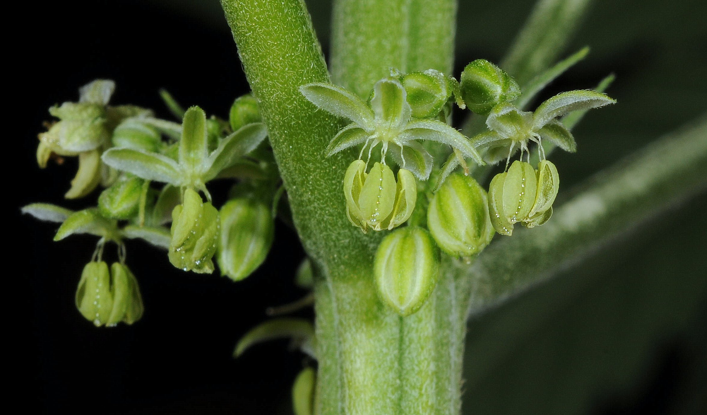 Male pollen