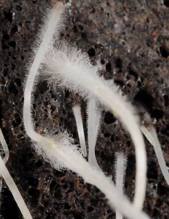 Cannabis root hairs
