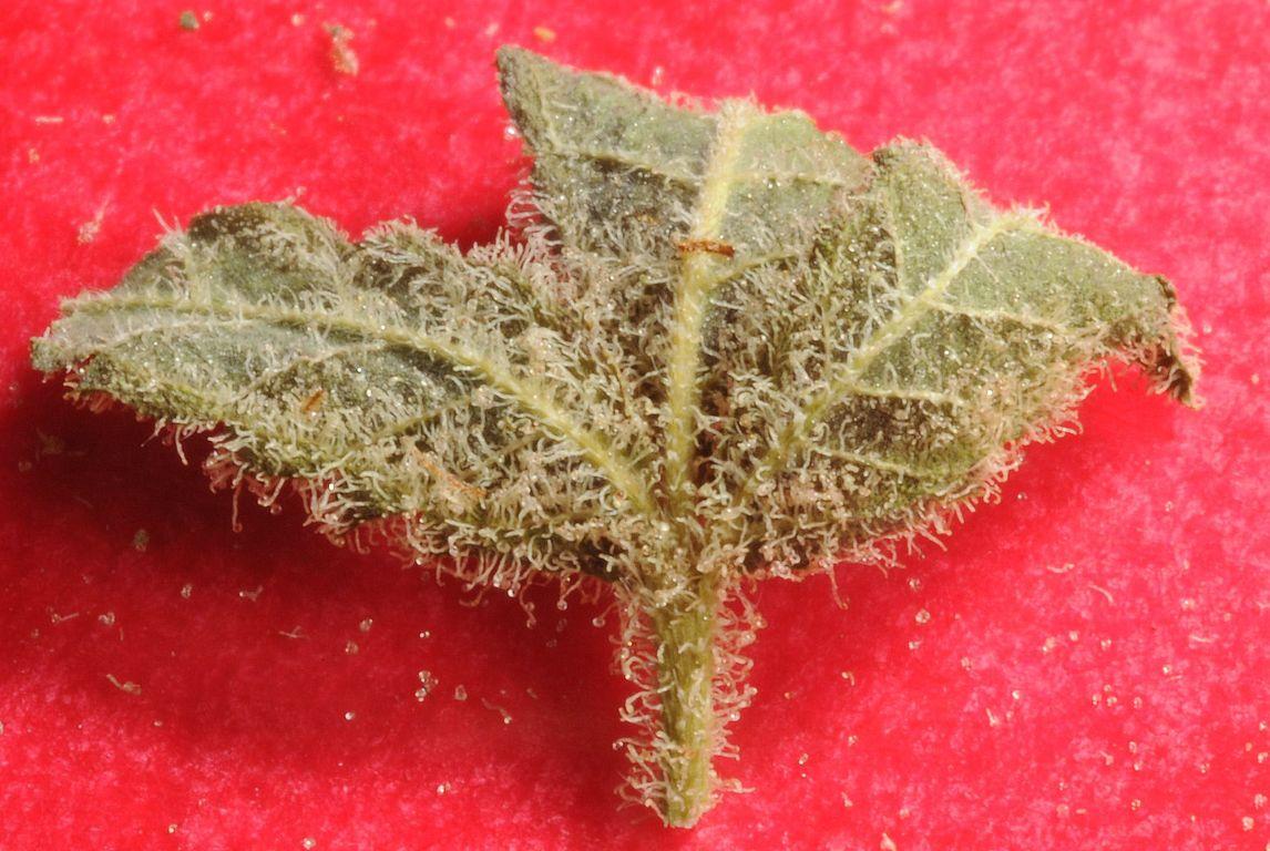 leaf trichome's