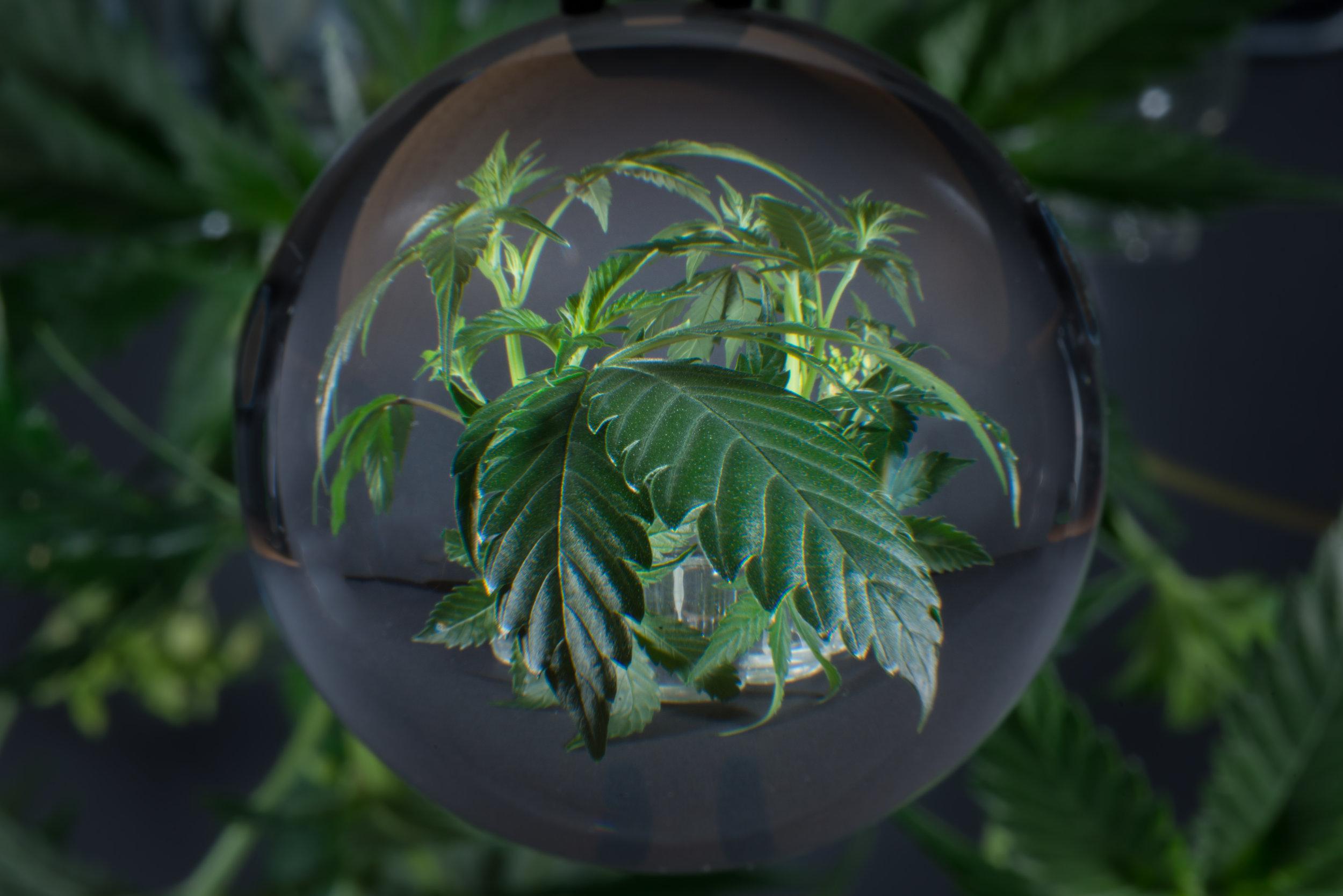 cannabis-art-.jpg