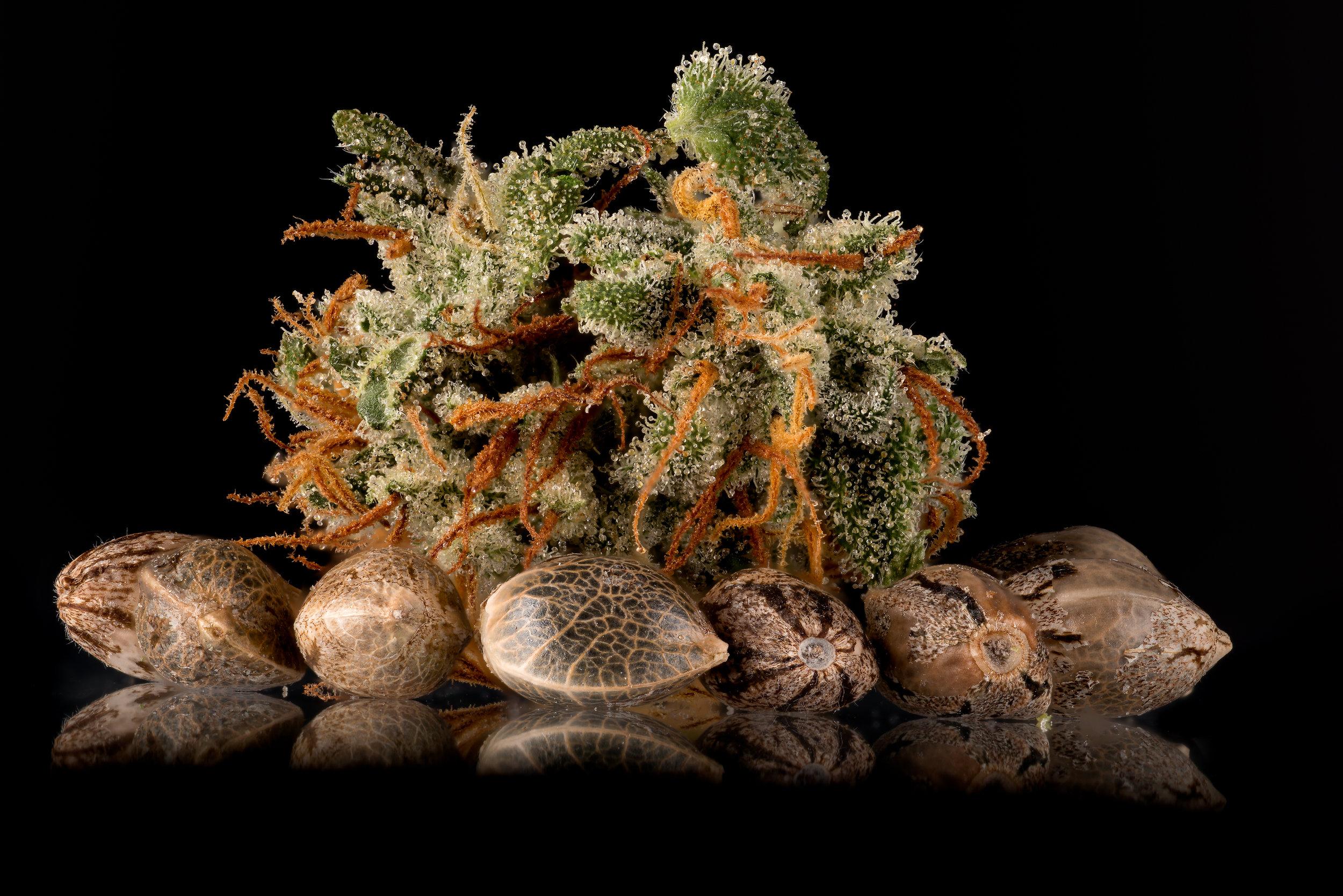 cannabis seeds around dried sugar punch nugget