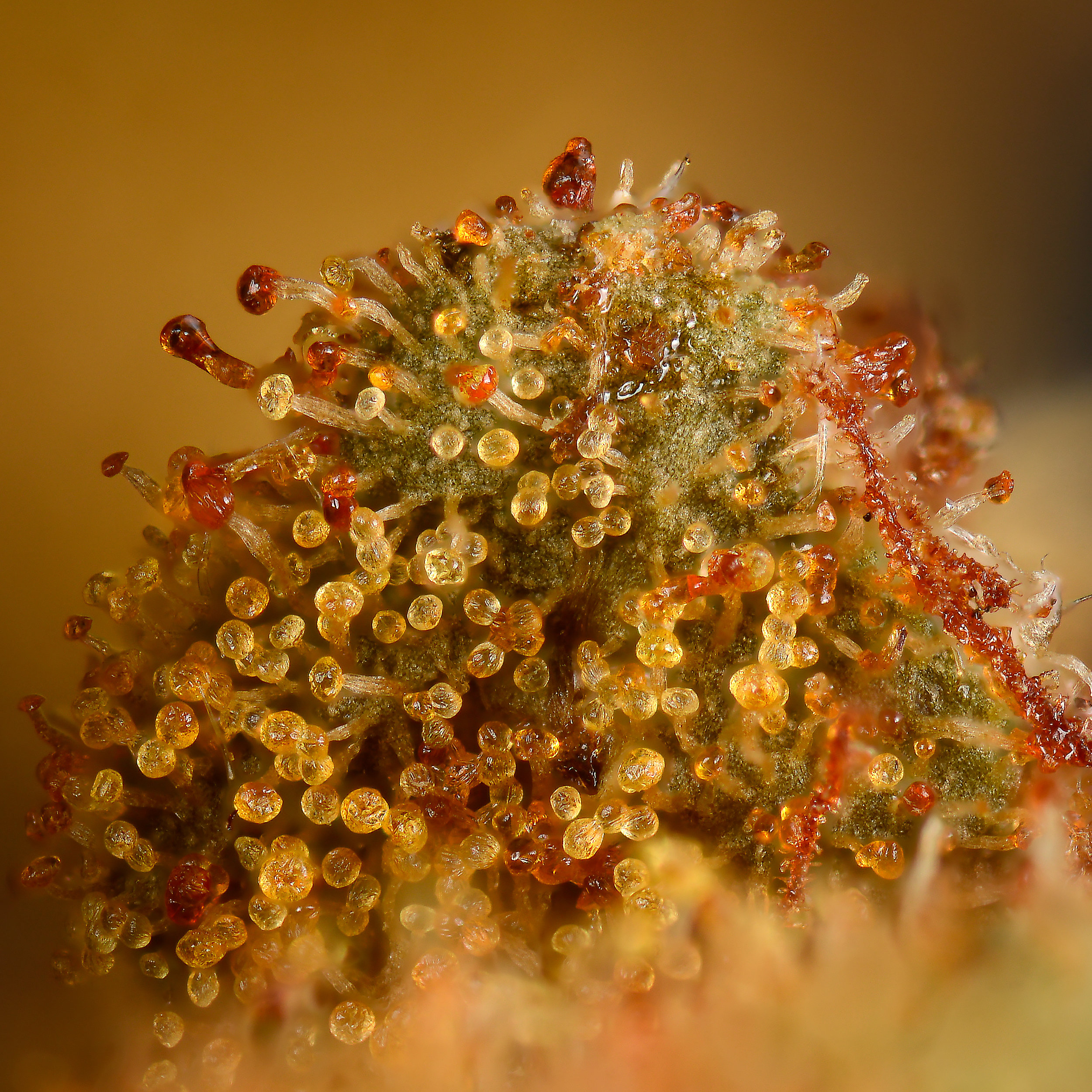 Sanniesjack 12 year old bud with orange trichomes