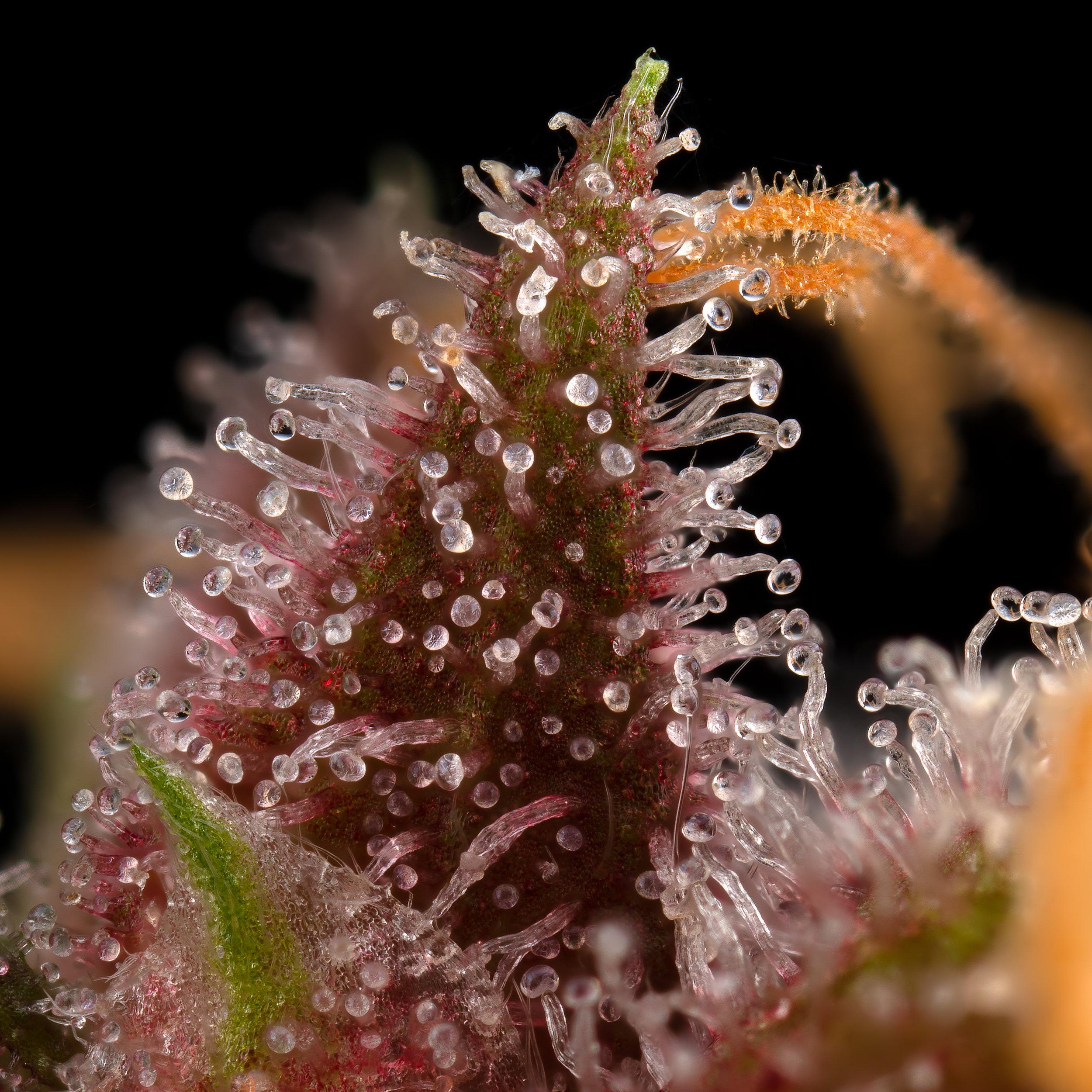 Killingfields cannabis purple trichomes