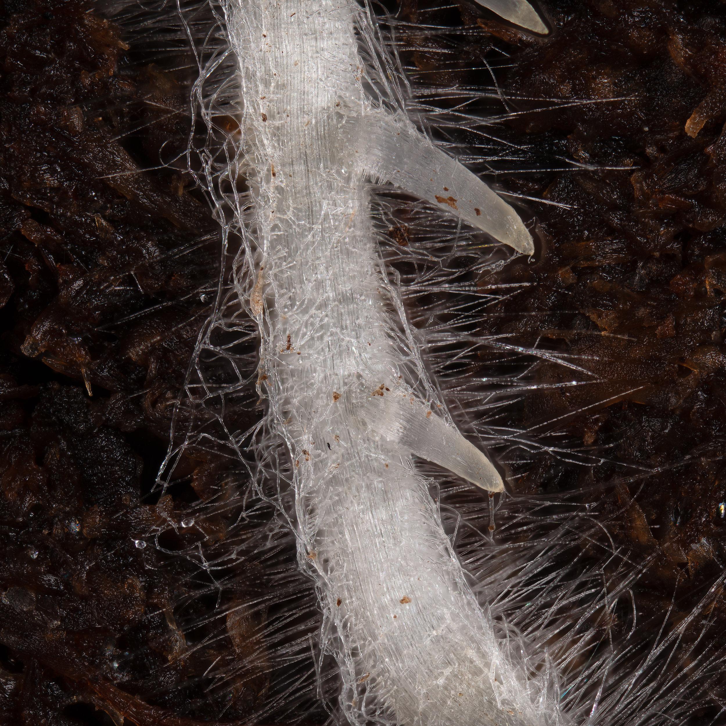 Macro shot from cannabis root hairs