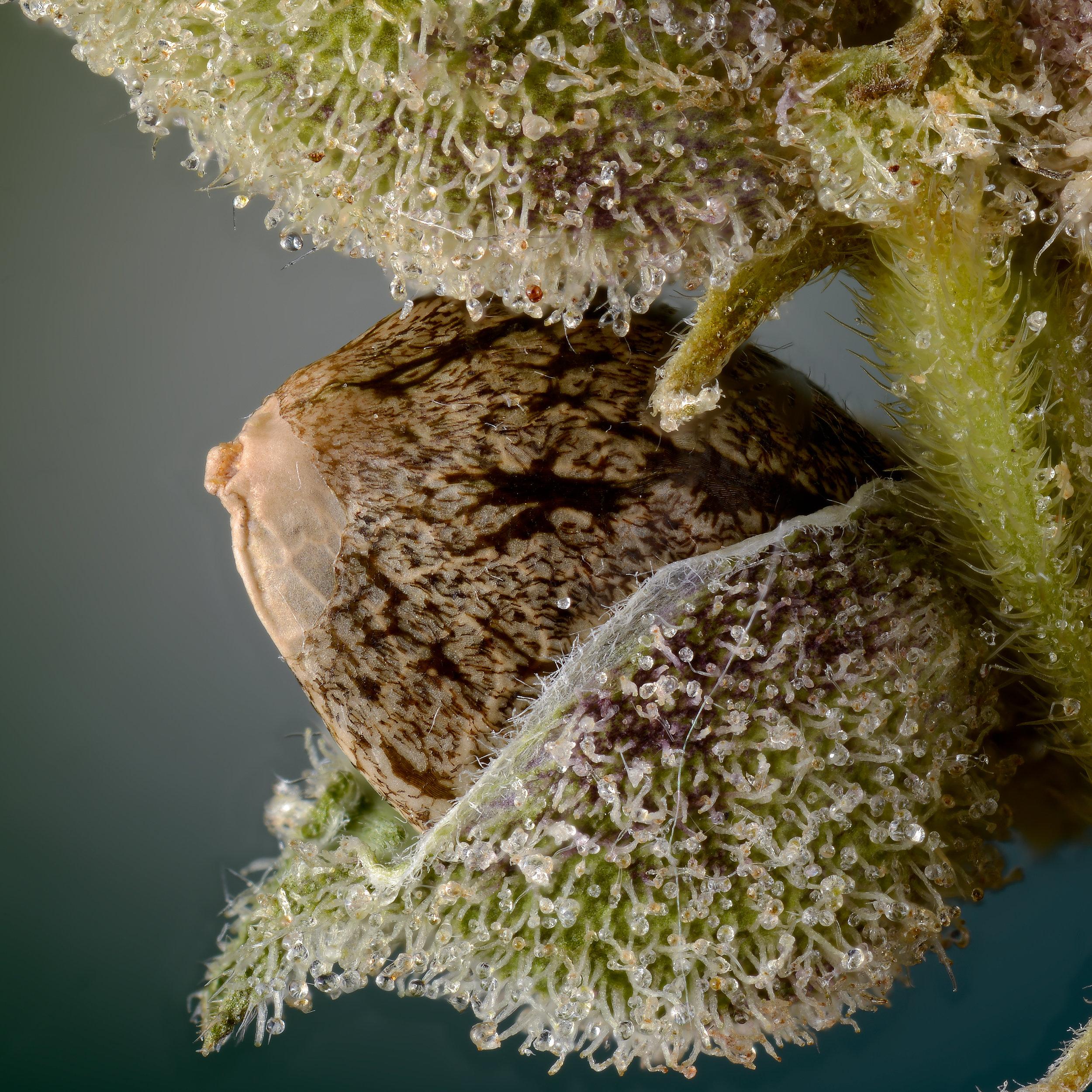 Selene seed