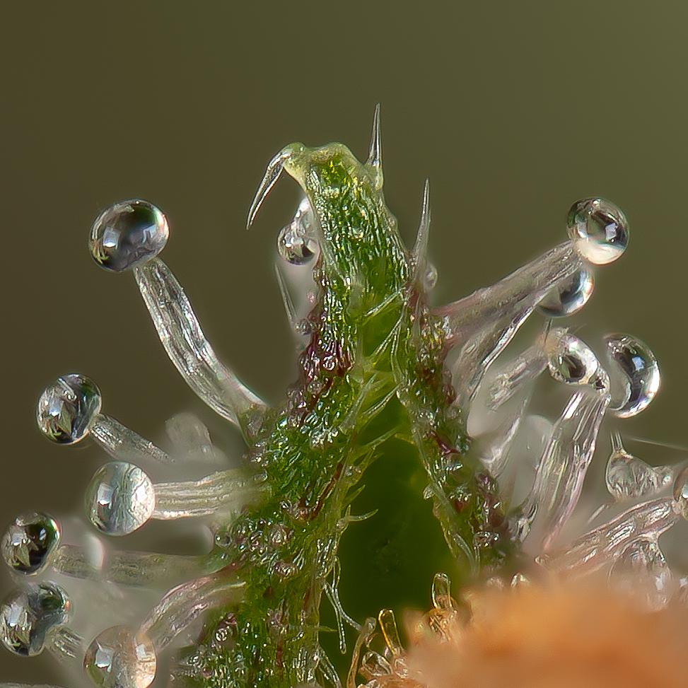 Cannabis trichomes macro