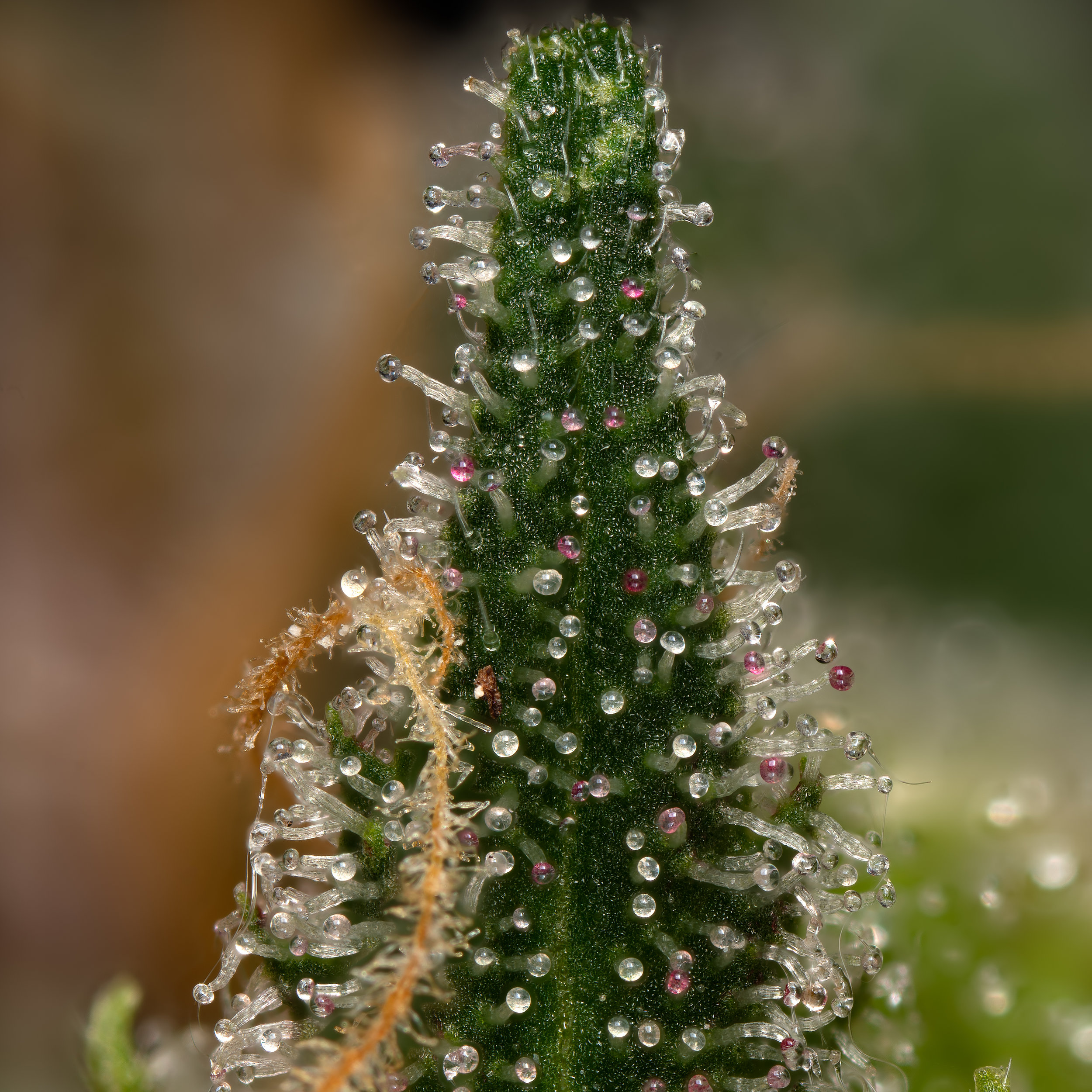 Cannabis leaf with trichomes
